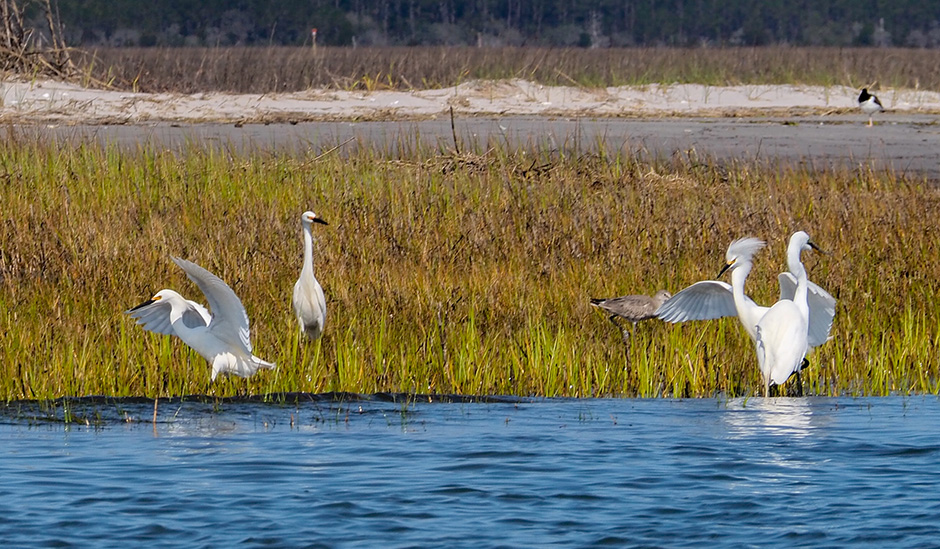 Snowy egrets disagree at Bosun's Point