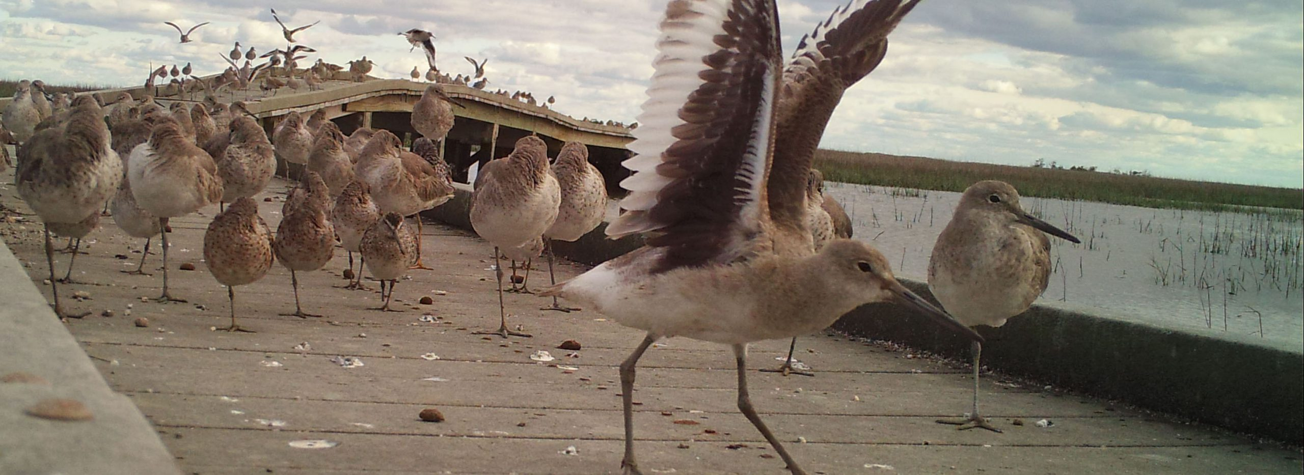 Willet at the education boardwalk
