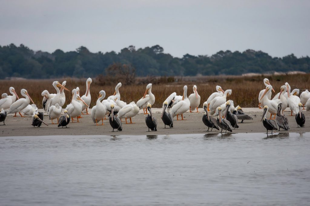 White and Brown Pelicans in North Inlet