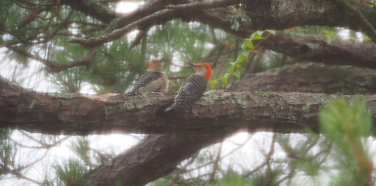 A red-bellied woodpecker pair raised two chicks in our tree last year.